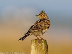Skylark (xrxss15) Tags: alaudaarvensis alaudidae altbessin animalia animals aves birds europe feldlerche germany inselhiddensee larks mecklenburgvorpommern skylark tiere vögel