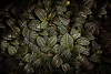 Greenery (majestiele.co.uk) Tags: select greenery wisley photo glasshouse macro repeat vein variegated leaves