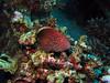 Grouper (Lerotic) Tags: uw underwater egypt redsea scuba diving