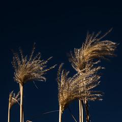Phragmites australis (blasjaz) Tags: blasjaz botanik gras rispengras poaceae schilfrohr stengel reed süsgräser pflanzen pflanze plant