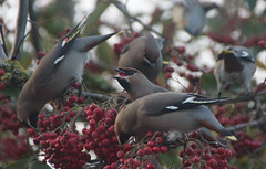 Waxwing irruption, Bedford Place (ajax_pc) Tags: bedfordplace rowan irruption waxwing
