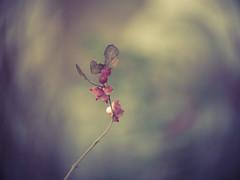 Winter berries (A_Peach) Tags: anastigmat g3 park availablelight nature plant plants mft m43 lumix panasonic microfourthird micro43 apeach anjapietsch berries berry vintagelens manualfocus adaptedlens kodakanastigmat63mmf27cine dof bokeh swirl swirly pink