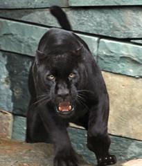 jaguar Mowgli   artis BB2A2300 (j.a.kok) Tags: jaguar blackjaguar mowgli artis predator mammal zoogdier kat cat pantheraonca zuidamerika southamerica