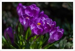 Back in USSR 9 (Outlaw Pete 65) Tags: macro closeup fiori flowers natura nature colori colours viola purple verde green giallo yellow primavera spring fujixe2 zenithelios58mm brescia lombardia italia