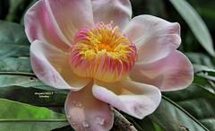 Gustavia agusta - Majestic Heaven Lotus (sajan-164) Tags: gustavia agusta majestic heaven lotus ramna park dhaka bangladesh sajan164 outdoor droplets lecythidaceae swedishkinggustaviii gustaviaaugusta