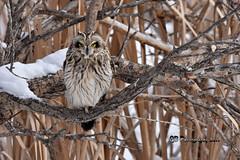 Short-eared Owl DSC_8617 (Ron Kube Photography) Tags: owl owls bird birds nature fauna ornithology alberta canada shortearedowl shorteared southernalberta raptor birdofprey nikon nikond7200 d7200 ronaldok globalbirdtrekkers asioflammeus ronkubephotography
