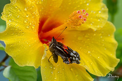 HIBISCUS ET PAPILLON (daumy) Tags: flower nature water rain yellow jaune butterfly garden eau jardin pluie papillon hibiscus goutte humide
