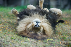 Lion Playing in the Grass (Eric Kilby) Tags: park grass cat zoo franklin big massachusetts lion rolling