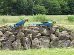 Macaws ready to Flash in Flying Display - Banham Zoo Norfolk (annrushworth) Tags: zoo parrot flashing macaw banhamzoo blueandyellowmacaw birdofpreydisplay