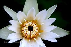 IMG_4211 (singaporeplantslover) Tags: nymphaea   lotus