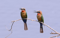 White-fronted bee-eaters (Merops bullockoides) (One more shot Rog) Tags: africa white nature birds wings colours bee safari perched zambia eater beeeater beaks fronted beeeaters bushcamps bilimungwe whitefrontedbeeeaters