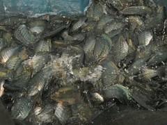 การเลี้ยงปลาสลิด 8 เดือน จับ 6-7 ตัว/ก.ก. จรรยวรรธน์ฟาร์ม