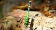 20150807_918a (sylharden) Tags: nature animal insect dragonfly outdoor odonata