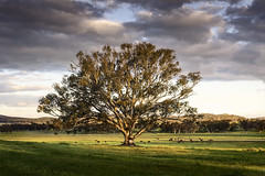 Tree at Sunset. (Bill Thoo) Tags: sunset tree field rural landscape cows farm sony country ngc australia nsw westernnsw a7r tomingley goobangnationalpark