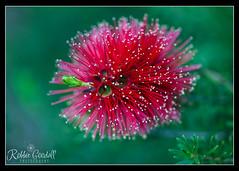 Australian Bottle Brush (RobbieGoodall74) Tags: red flower garden flora pretty kingspark westernaustralia