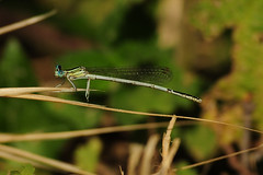 White-legged damselfly 212157b (dirkhuitzing) Tags: whiteleggeddamselfly platycnemispennipes