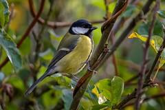 Great Tit (Martyn William's Birds) Tags: tit tits hahahaha greattit britishbirds greattits nikond810 nikonafstc14eiiteleconverter nikonvrafs300mmf28gediflens martynwilliamsbirds