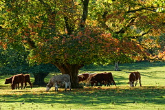 Udny autumn cows. (artanglerPD) Tags: trees sunlight grass leaves cattle autumncolours