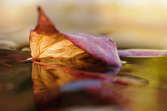 A Watery End. (muddlemaker1967) Tags: autumn light reflection fall nature water leaf warm bokeh highlights