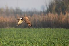 Circus cyaneus (Andrea Lugli) Tags: bird canon eos sigma os dg uccello hsm 60d 150500