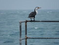 Cormorant on the Edge (mikecogh) Tags: ocean jetty horizon end cormorant shag elliston