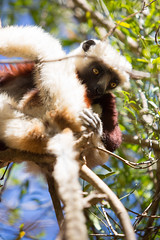 LEMUR-PARK-24 (RAFFI YOUREDJIAN PHOTOGRAPHY) Tags: park city travel trees plants baby white cute green animal fauna canon river jumping sweet turtle wildlife bricks mother adorable adventure explore lemur 5d lemurs bushes madagascar 70200 antananarivo mkiii