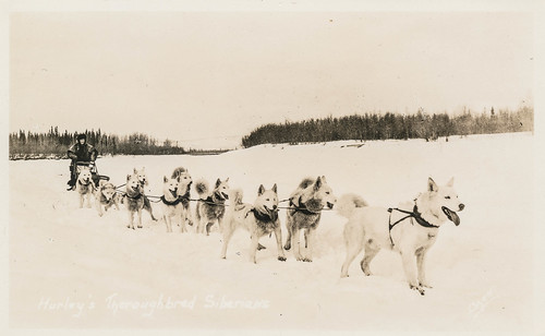 Dog sled being pulled by siberian huskies