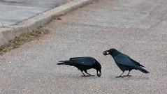 Nuts Crushers (gps1941) Tags: bird animal crow tier vogel rabe krhe walnuss