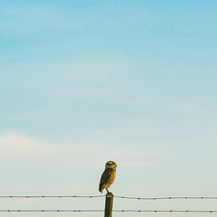coruja buraqueira (Jacqueline Lisboa) Tags: blue sky bird outdoors ave owl coruja cerrado ceu arame farpado buraqueira