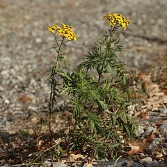 December (Vox Sciurorum) Tags: flower yellow massachusetts newton tansy sigma150mmf28os