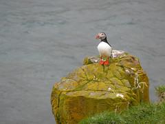 unbenannt-1170205 (Jrgen Friedlein) Tags: island vogel 2010 papageientaucher borgarfjararhreppur