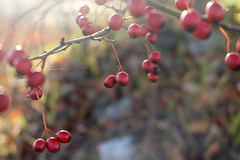Hawthorn In The Light (Anna Hari) Tags: autumn red italy sunlight macro tree fall nature branch berries web fujifilm macros spidersweb hawthorn 2015 spidersilk xm1