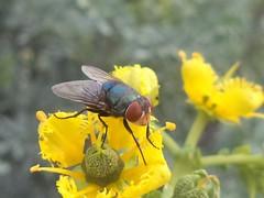 DSC02793 (alfredoeloisa) Tags: animalia arthropoda diptera calliphoridae insecta hexapoda pterygota chrysomyamegacephala neoptera endopterygota brachycera orientallatrinefly chrysomya muscomorpha