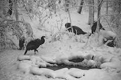 IMG_3607 (runtzka) Tags: kinburnproperty wildturkeys