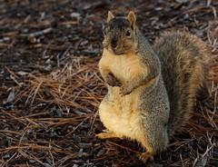 Squirrel, Morton Arboretum. 380 (EOS) (Mega-Magpie) Tags: canon eos 60d nature outdoors wildlife cute squirrel the morton arboretum lisle dupage il illinois usa america