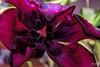 Wild Tulip (fs999) Tags: 100iso fs999 fschneider aficionados zinzins pentaxist pentaxian pentax k1 pentaxk1 fullframe justpentax flickrlovers ashotadayorso topqualityimage topqualityimageonly artcafe pentaxart corel paintshop paintshoppro x9ultimate paintshopprox9ultimate masterphotos fleur flower blume bloem macrolife macro makro sigmaart1835mmf18dchsm sigma sigma1835 hsm 1835 f18 metzflash52af1digital metz flash metz52af1 with softbox