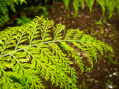 Fern II (goodbyetrouble) Tags: fern farn auckland nz new zealand neusseland plant pflanze blatt leaf nature natur green grün aotearoa