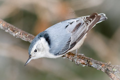 White-breasted Nuthatch (tresed47) Tags: 2016 201612dec 20161217homebirds birds canon7d chestercounty content folder home nuthatch pennsylvania peterscamera petersphotos places takenby us whitebreastednuthatch ngc npc