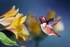 My Little Evening Sunshine (Patricia Ware) Tags: allenshummingbird alstroemeria backyard birdsinflight california canon ef500mmf4lisusm fullframe manhattanbeach multipleflash selasphorussasin tripod httppwarezenfoliocom ©2016patriciawareallrightsreserved specanimal