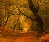 Horner Gold (tog@goldenhour) Tags: hornerwoods exmoor nationalpark uk canoneos70d canonefs18135mm woodland landscape toggoldenhour autumn goldenhour sunrise dawn golden fall nature