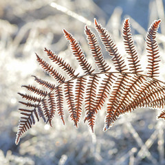 sharp frost (Emma Varley) Tags: bracken fern frost sharp winter ice grass bokeh light sparkle cold orange defined leaf