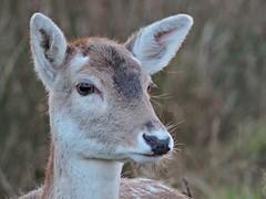 Fallow deer (PhotoLoonie) Tags: fallowdeer deer animal britishwildlife wildlife wildanimal britishwildanimal
