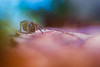 Amaurobius ferox (Thomas Vanderheyden) Tags: arachnide araignee bokeh colors couleur faune fujifilm macro nature tamron90mm thomasvanderheyden xt1 spider