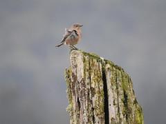 Mountain Bluebird Record Photo Doc. 3