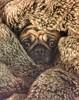 Snug (stumayhew) Tags: winter warm fur rug wrinkles cute dog pet puggle pug