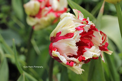 Red and White Parrot Tulip (juliam23) Tags: parrot tulip red white flower spring nature macro east ruston vicarage gardens norfolk uk canon eos60d