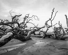 The Boneyard (Tony__K) Tags: crowngraphic 90mm superangulon f8 4x5 lf boneyard florida blackandwhite bw nature landscape ilfordhp5400 hc110b film:name=ilfordhp5400 developer:name=kodakhc110 reallybignegative
