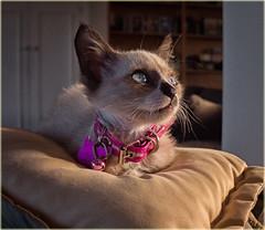 Princess Bella (marneejill) Tags: bella siamese kitten kitty pink collar blue eyes