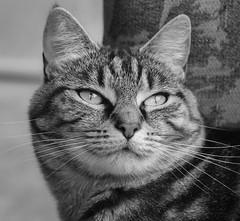 Portrait (M J Adamson) Tags: sweetpea cats pets mono blackwhitephotography nz newzealand