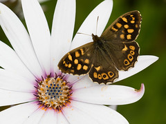 Brown or white? (Chris Denning Photos) Tags: butterfly osteospermum tresco islesofscilly island southwest england
